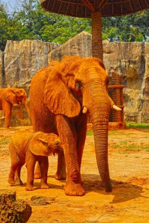 Elephant. Mother with Baby Elephants Walking Outdoors. photo