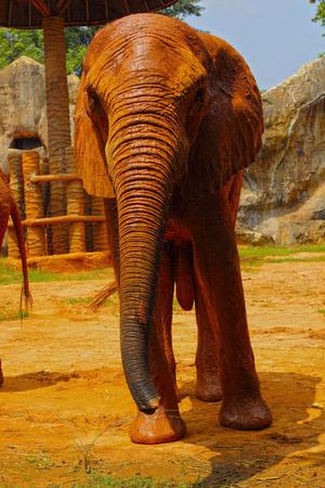 Elephant.  Elephants Big Walking Outdoors. photo