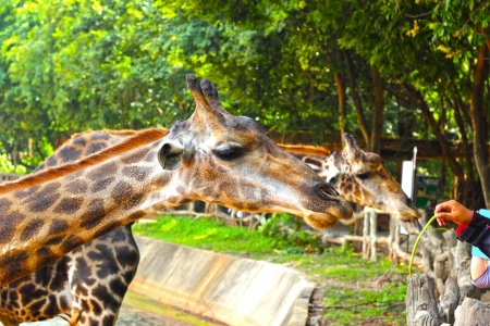 Giraffe at the Zoo - Giraffe head Stock Photo - 22636965