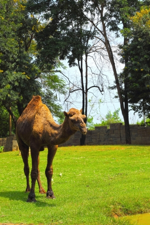 Camel standing in the zoo. photo