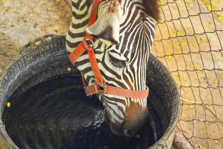 stoop: Zebra - stoop eat the water.