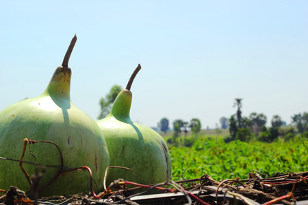 The large gourds in the nature photo