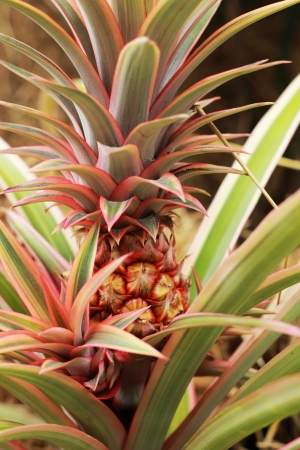 natue: Pineapples growing in the nature. Stock Photo