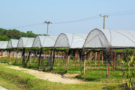 Fruit vines are planted roof. photo