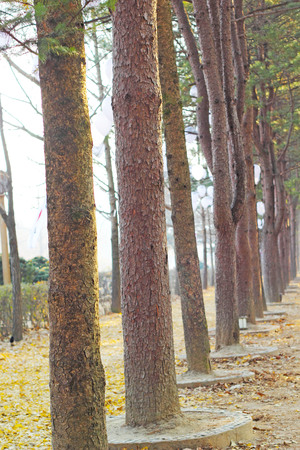 Pine Rams at Nami Island, Korea  photo