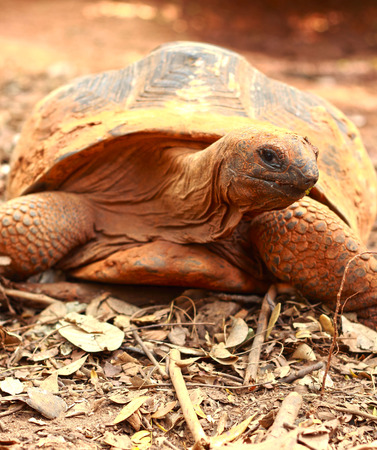 land turtle: Crawling tortoise in the nature