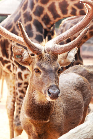 sika deer in the nature photo
