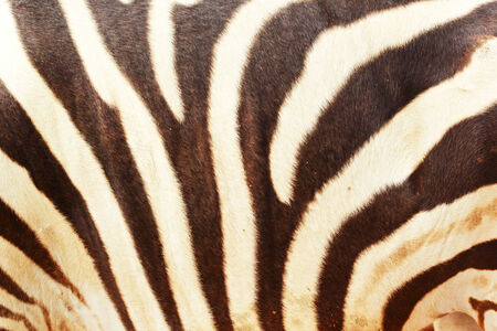 Zebra background in the nature photo