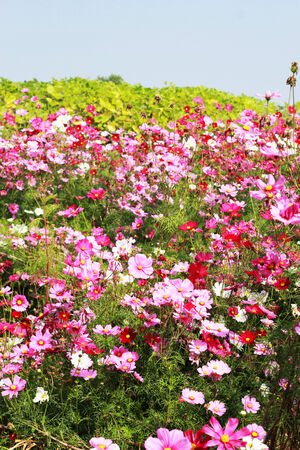 Pink cosmos flower in the garden photo