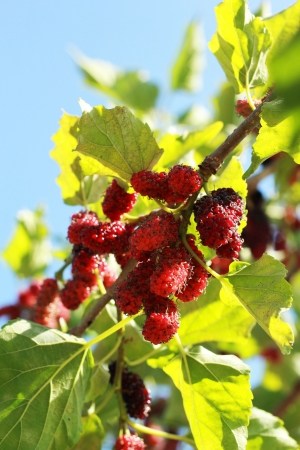 mulberry fruit in the garden