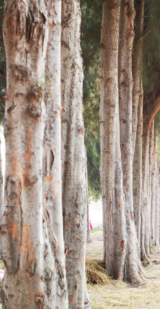 on both sides: Beautiful pines lining both sides. Stock Photo