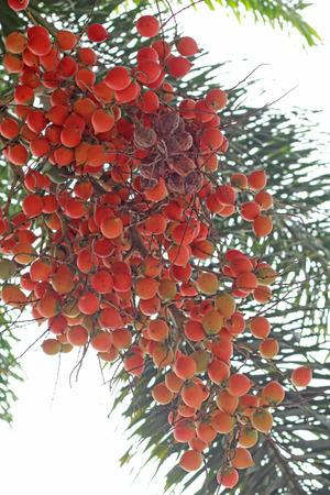 Betel palm on the tree photo