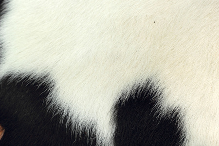 cow hide: white and black background cow fur. Stock Photo