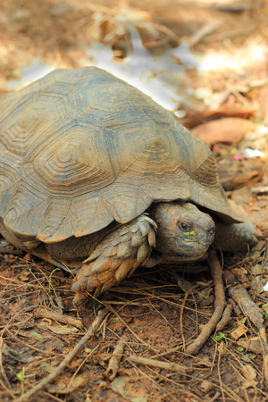 land shell: Crawling tortoise in the nature