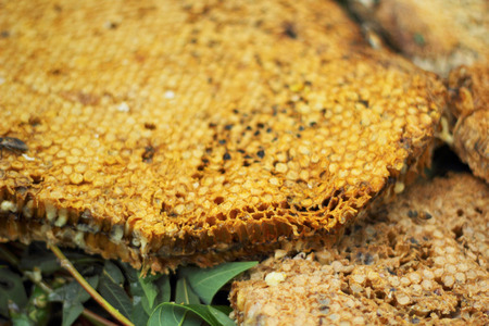 honey comb: fresh honey in the comb