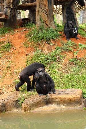 simia troglodytes: Monkey sitting on the river.
