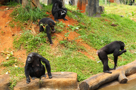 simia troglodytes: Monkey sitting at the nature