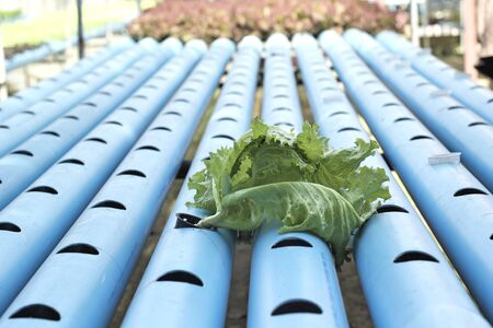 Organic hydroponic vegetables is planted in a garden photo