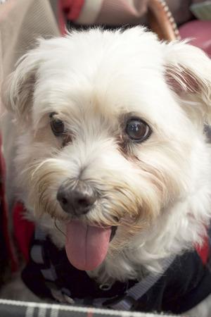 white poodle: close up white poodle dog