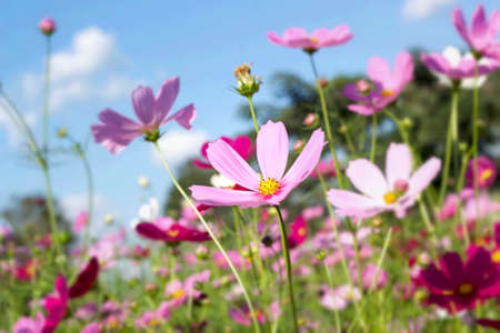 pink and white  cosmos flowers in the nature photo