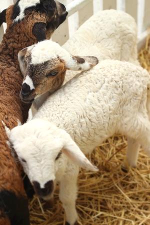 ovine: Many lambs on the farm. Stock Photo