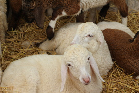 defiant: Many lambs on the farm. Stock Photo