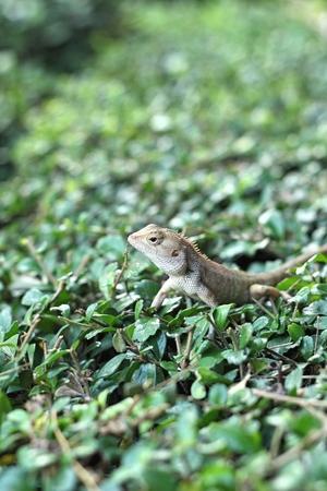 species of creeper: Brown thai lizard on tree Stock Photo