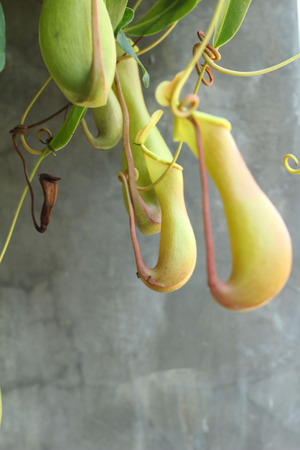 nepenthes: Nepenthes ampullaria with the nature