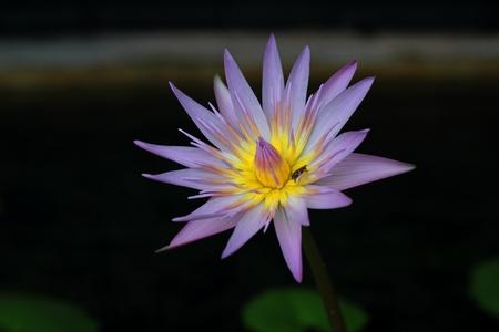 descriptive colours: Purple lotus in the nature Stock Photo
