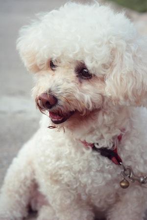 white poodle: White poodle dog sitting staring