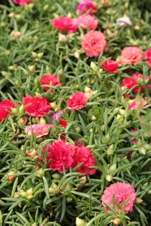 idea comfortable: Colorful portulaca flowers in the nature Stock Photo