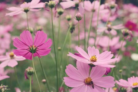 Cosmos flowers at beautiful in the garden