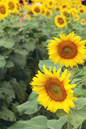 botanical farms: Sunflowers field at beautiful in the garden