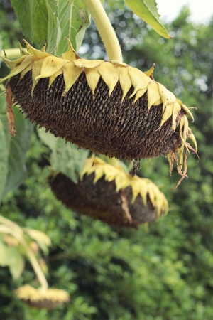 sear: Sunflowers wither by sunlight in garden