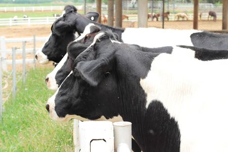 Dairy cows in the farm