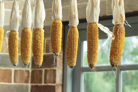 drying corn cobs: Dried old yellow corns hanging on the wall