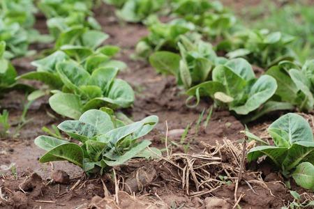 glasshouse: Fresh lettuce for health in the garden Stock Photo