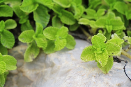 fragrant: Pepper mint leaves in garden with nature