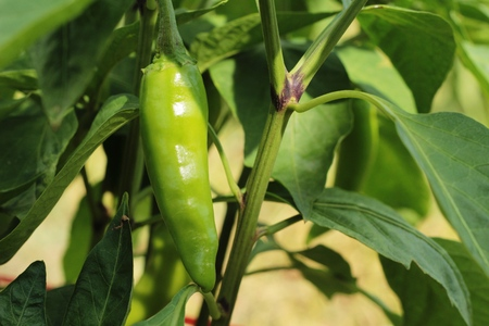 cultivate: Green bell peppers hanging on tree in garden Stock Photo