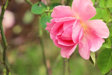 Beautiful roses is blooming in the garden