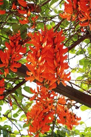 jade plant: Newguinea creeper or red jade vine in nature