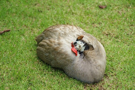 Guineafowl with the nature