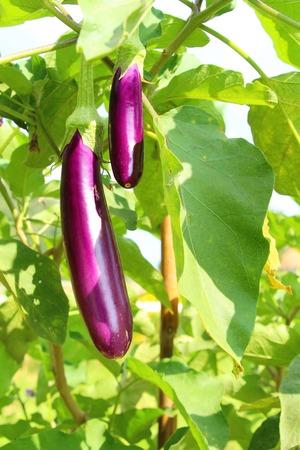 Purple eggplant on the tree in garden