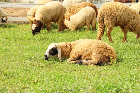 Sheep in the farm with the nature