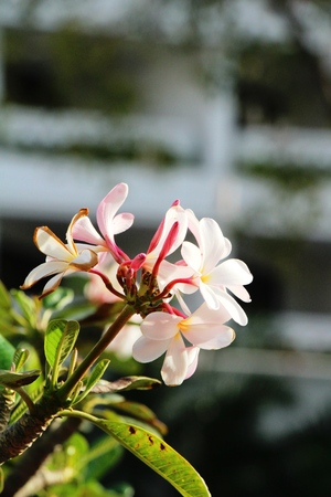 Plumeria flower with beautiful in the nature