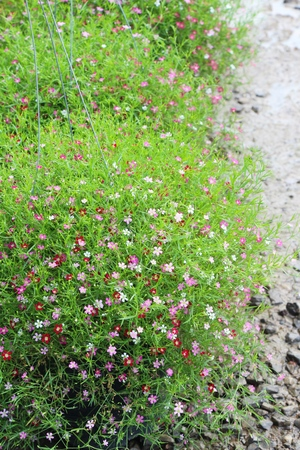 Pink gypsophila flower beautiful in the nature Stock Photo