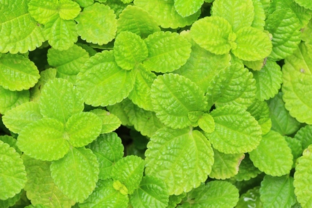 Pepper mint leaves in garden with nature