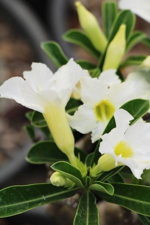 Azalea flowers is beautiful at the garden Stock Photo