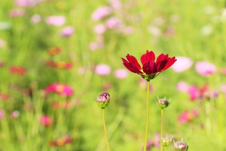 Beautiful cosmos colorful flowers in the garden Stockfoto