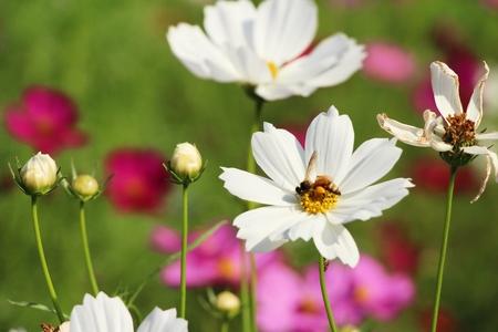 Beautiful cosmos colorful flowers in the garden Banco de Imagens